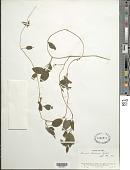 view Leonis trineura (Griseb.) B. Nord. digital asset number 1