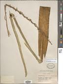 view Dracaena hyacinthoides (L.) Mabb. digital asset number 1