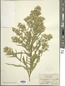 view Symphyotrichum paniculatus digital asset number 1