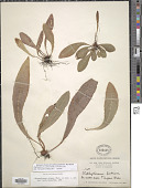 view Elaphoglossum cubense (Mett. ex Kuhn) C. Chr. digital asset number 1
