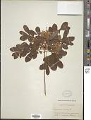 view Rhododendron viscosum (L.) Torr. digital asset number 1