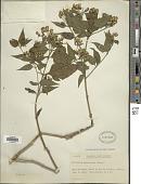 view Chromolaena maximiliani (Schrad. ex DC.) R.M. King & H. Rob. digital asset number 1