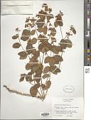 view Apocynum androsaemifolium L. digital asset number 1