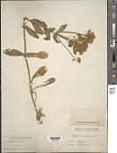 view Erythraea centaurium (L.) Borkh. digital asset number 1