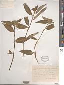 view Commelina erecta L. digital asset number 1