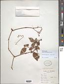 view Cissus obliqua Ruiz & Pav. digital asset number 1