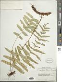 view Polypodium subpetiolatum Hook. digital asset number 1