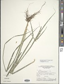 view Rhynchospora amazonica Poepp. & Kunth digital asset number 1