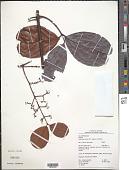 view Salacia multiflora (Lam.) DC. subsp. multiflora digital asset number 1
