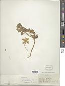 view Tropaeolum polyphyllum digital asset number 1
