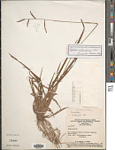 view Paspalum melanospermum Desv. ex Poir. digital asset number 1