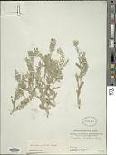 view Arnebia guttata Bunge digital asset number 1