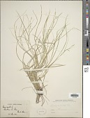 view Carex remota L. digital asset number 1