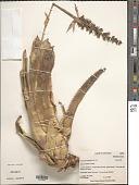 view Aechmea angustifolia Poepp. & Endl. digital asset number 1