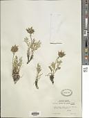 view Oxytropis sericea var. spicata (Hook.) Barneby digital asset number 1