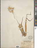 view Bothriochloa erianthoides (F. Muell.) C. E. Hubb. digital asset number 1