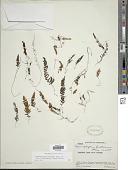 view Hymenophyllum fendlerianum J.W. Sturm in Mart. digital asset number 1