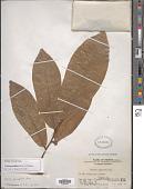 view Uvaria grandiflora Roxb. digital asset number 1