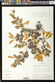 view Aeschynanthus ellipticus Lauterb. & K. Schum. digital asset number 1