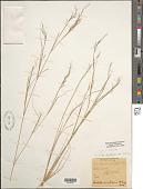 view Aristida dichotoma var. curtisii A. Gray digital asset number 1