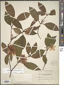 view Rhododendron carolinianum digital asset number 1
