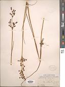 view Juncus lampocarpus Ehrh. digital asset number 1