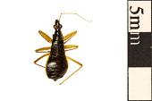 view Black Damsel Bug, Damsel Bug digital asset number 1