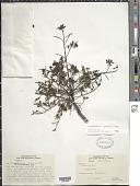 view Hymenolobium petraeum Ducke digital asset number 1