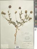 view Gaillardia pulchella Foug. digital asset number 1