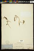 view Ranunculus subrigidus Drew digital asset number 1