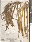 view Cortaderia nitida (Kunth) Pilg. digital asset number 1