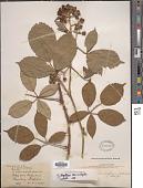 view Rubus leightonii Lees ex Leight. digital asset number 1