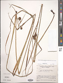 view Thurnia polycephala Schnee digital asset number 1