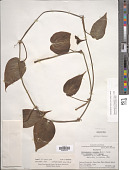 view Philodendron hederaceum (Jacq.) Schott digital asset number 1