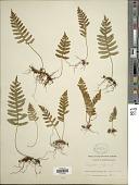 view Polypodium appalachianum Haufler & Windham digital asset number 1