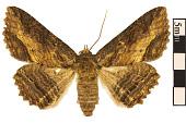 view Lunate Zale Moth digital asset number 1