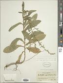 view Pseudelephantopus spicatus (Juss. ex Aubl.) C.F. Baker digital asset number 1