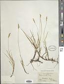 view Carex siccata Dewey digital asset number 1