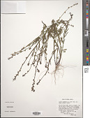 view Linaria texana Scheele digital asset number 1