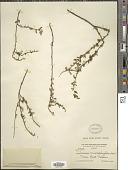 view Turnera diffusa Willd. ex Schult. digital asset number 1