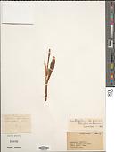view Ornithogalum persicum Hausskn. ex Bornm. digital asset number 1