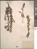view Castilleja scorzonerifolia Kunth digital asset number 1