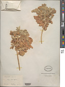 view Melianthus comosus digital asset number 1
