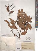 view Dryadodaphne novoguineensis (Perkins) A.C. Sm. digital asset number 1