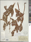view Polygonum phytolaccifolium Meisn. ex J.K. Small digital asset number 1