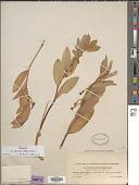 view Polygonatum odoratum (Mill.) Druce digital asset number 1