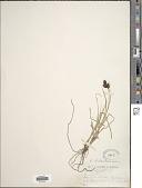 view Carex chalciolepis Holm digital asset number 1