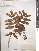 view Sorbus gloriosa digital asset number 1