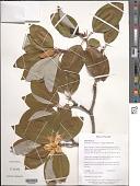 view Magnolia virginiana L. digital asset number 1