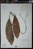 view Fahrenheitia minor (Thwaites) Airy Shaw digital asset number 1